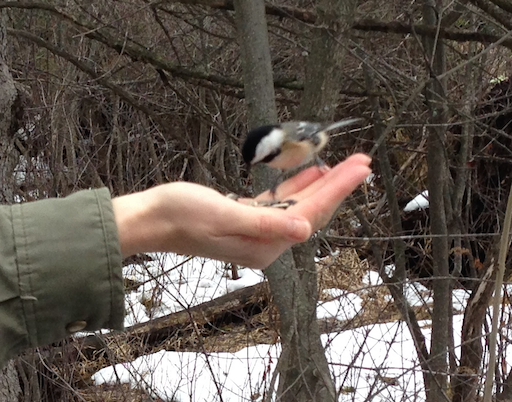 A chickadee feeds from my palm
