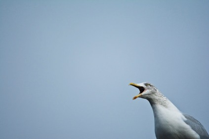 Photo of a seagull squawking against a blue-grey sky (by Anthony Robson, Flickr)